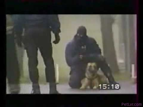 police dog training. STRONG DOGS!!!