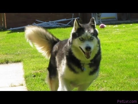 Siberian Husky Fun in The Sun on FAN FRIDAY #60