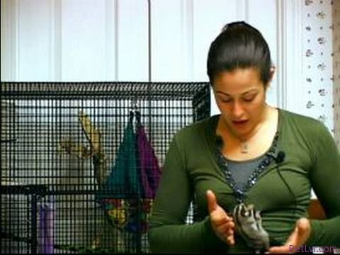 Sugar Gliders as Pets : Nutrition & Pet Sugar Gliders