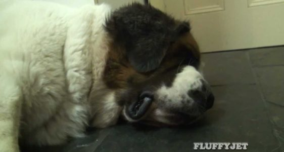 Superb Snoring Dog