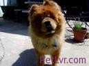 Talking dog! funny Chow Chows Talk