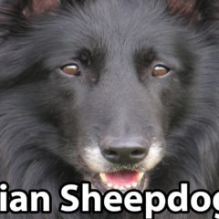 The Right Companion: Belgian Sheepdog