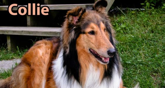 The Right Companion: Collie
