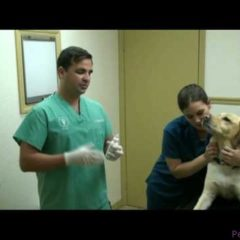 The Web-DVM 11-19-2009: How to clean dog/cats ears & prevent ear infections.
