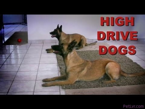 Training high drive dogs- clicker dog training