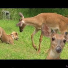 ‪Ultimate Dog Tease‬ – Puppy Teasing Wild Deer – Funny Pet Video