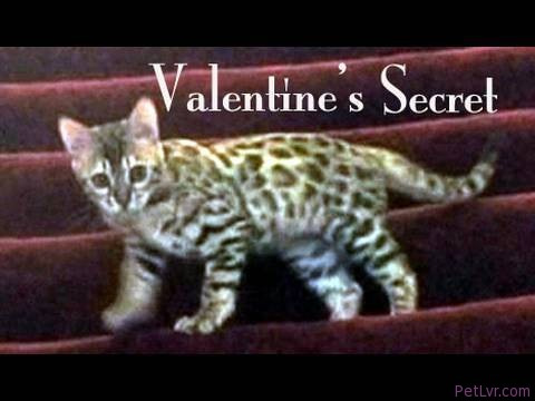 Valentine's Secret — Cat Clips #45
