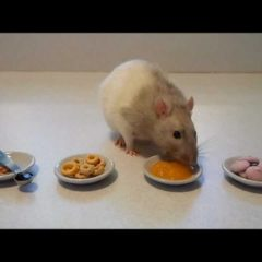 Introduction to Rattie Training: Part One