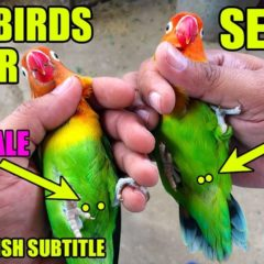 Parrot ko Bolna Sekhana | HOW TO TRAIN YOUR BIRD TO SPEAK | video in URDU/Hindi Subtitled in English