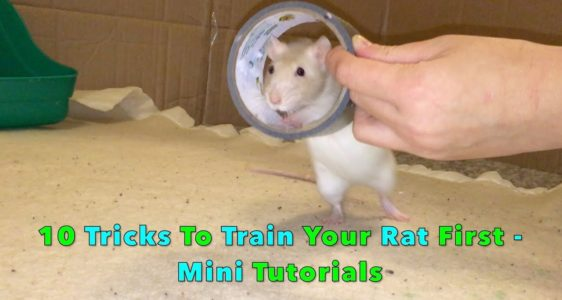 10 Advanced Tricks To Train Your Rats – Mini Tutorials