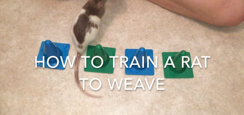 How To Train A Rat To Weave