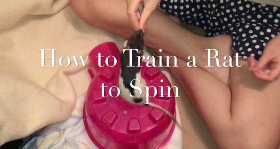 """How To Train A Rat To """"Read"""" (Trick Tutorial)"""