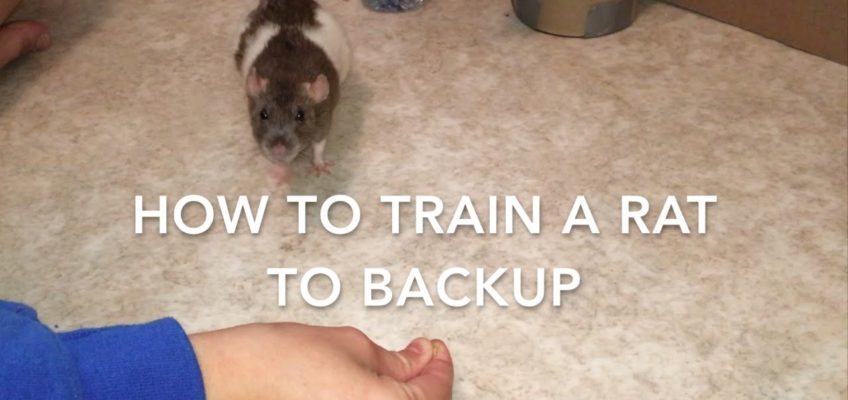 How to Train a Rat to do a Wall Handstand