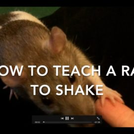 How To Train A Rat To Do A Standing Wave