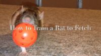 How to Train a Rat to Play Ring Toss