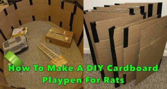 How To Train Your Rats To Stay Inside Their Playpen!