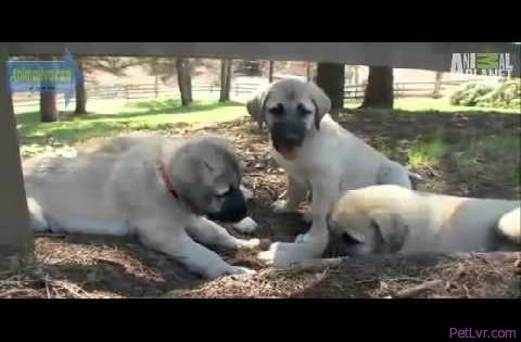 Anatolian Shepherd Review- Dogs 101- Animaliverse