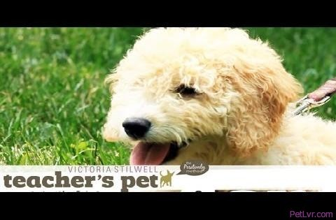 Socializing a Puppy 1: Meeting Other Pups | Teacher's Pet With Victoria Stilwell