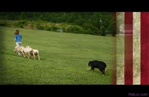Shepherd Training at the Canine Ranch | American Dog With Victoria Stilwell