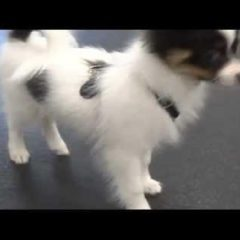 Beginning R+ Training – Day 14/14 – Puppies playing + clicker training!