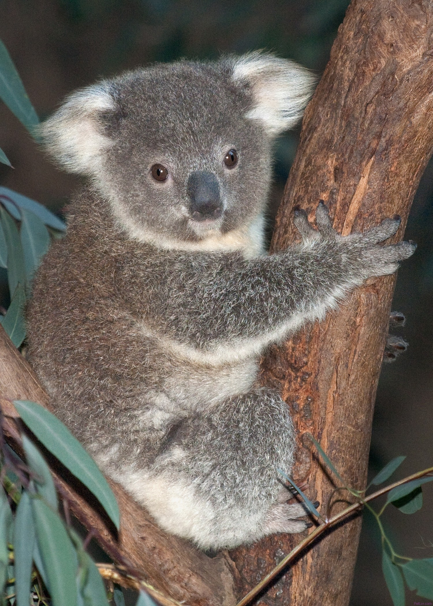 Baby Koala Debuts at the L.A. ZOO – PetLvr Archives