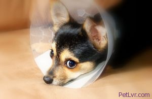 Help your dog recover after being spayed or neutered! (Benjamin Earwicker Photo)