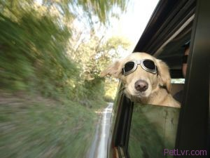 Don't Forget the Doggles if Your Dog Likes to Stick His Head Out the Window During Car Rides! (Danijel Juricev Photo)