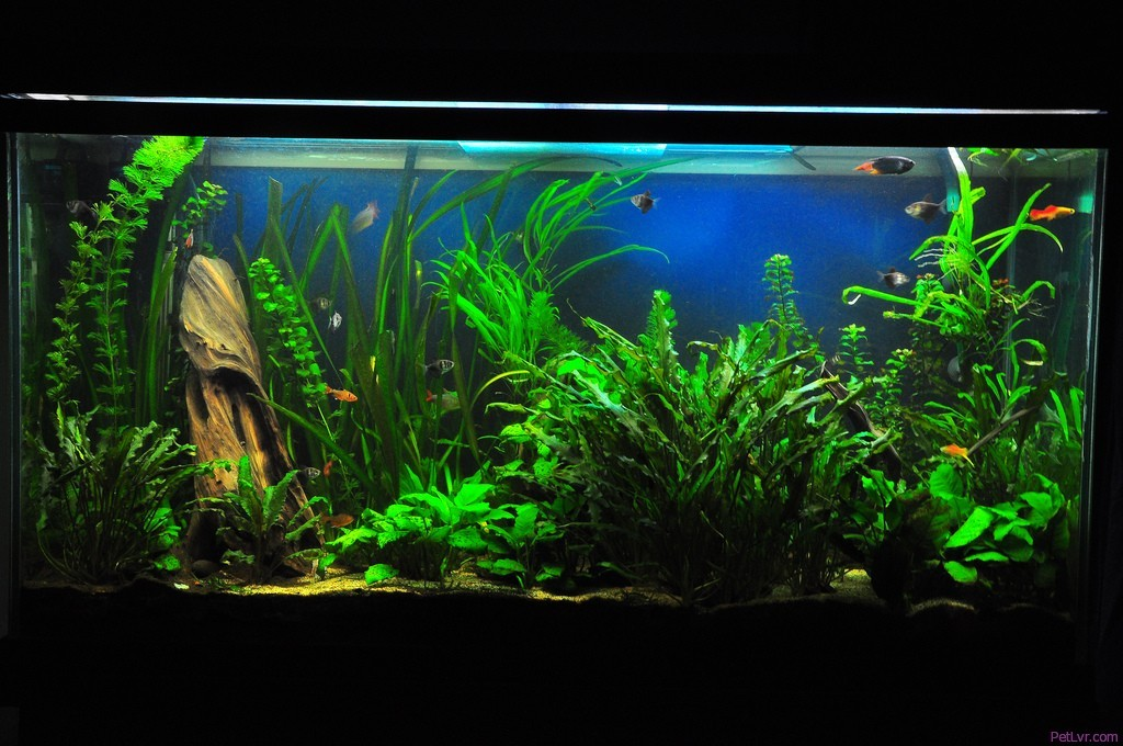 beginner s guide to freshwater tropical fish petlvr archives