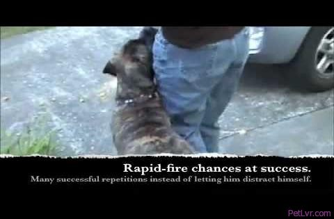 Simple leash walking - Silky Leash part 1 Ahimsa Dog Training Seattle clicker training