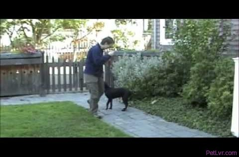 Simple leash walking 2 - Silky Leash part 2 Ahimsa Dog Training Seattle clicker training